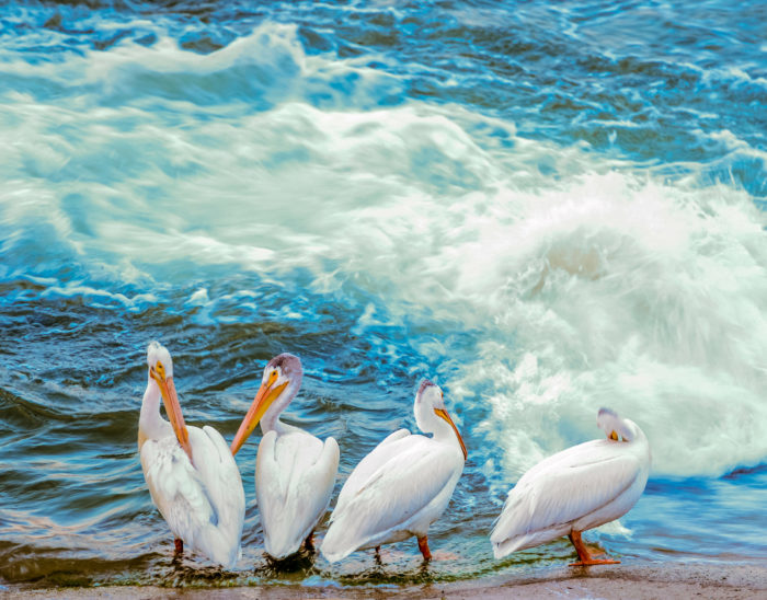 Pelicans at the weir (Credit: Dean MacDonald)